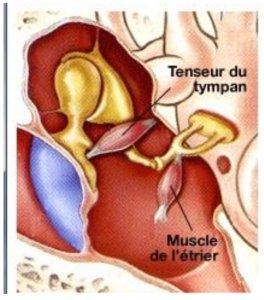 dolor de oido, musculos del oido